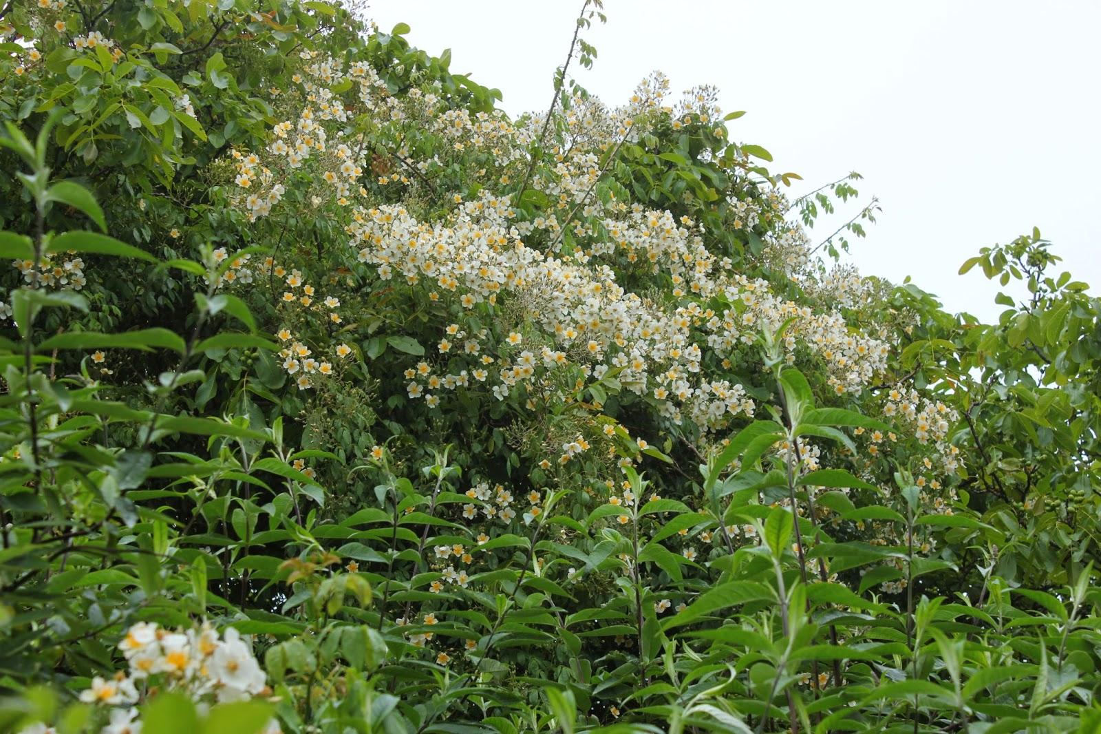 rosa filipes 'Kiftsgate' in a forest garden in France