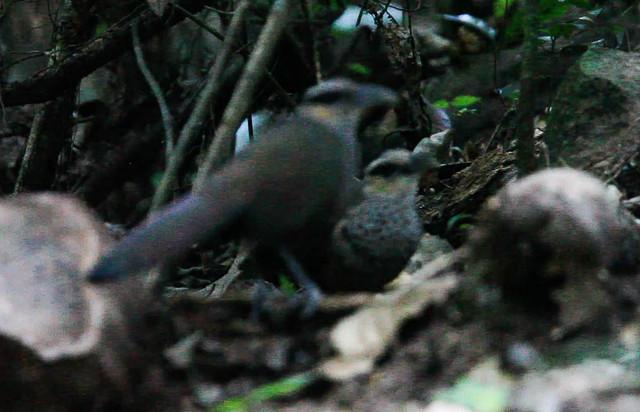 Neomorphus squamiger