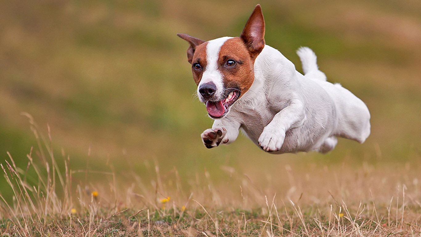 Everything about dogs: My favourite Jack Russell wallpapers Jack Russell Terrier Wallpaper