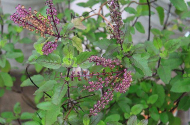 Hình ảnh cây hương nhu