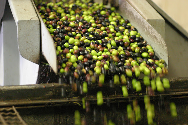 Just washed, the olives roll off the conveyor and into the hopper where they will be ground into paste, pits and all. Photo: Chris P.