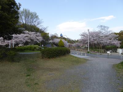 寝屋川公園  ソフトボール広場付近の桜
