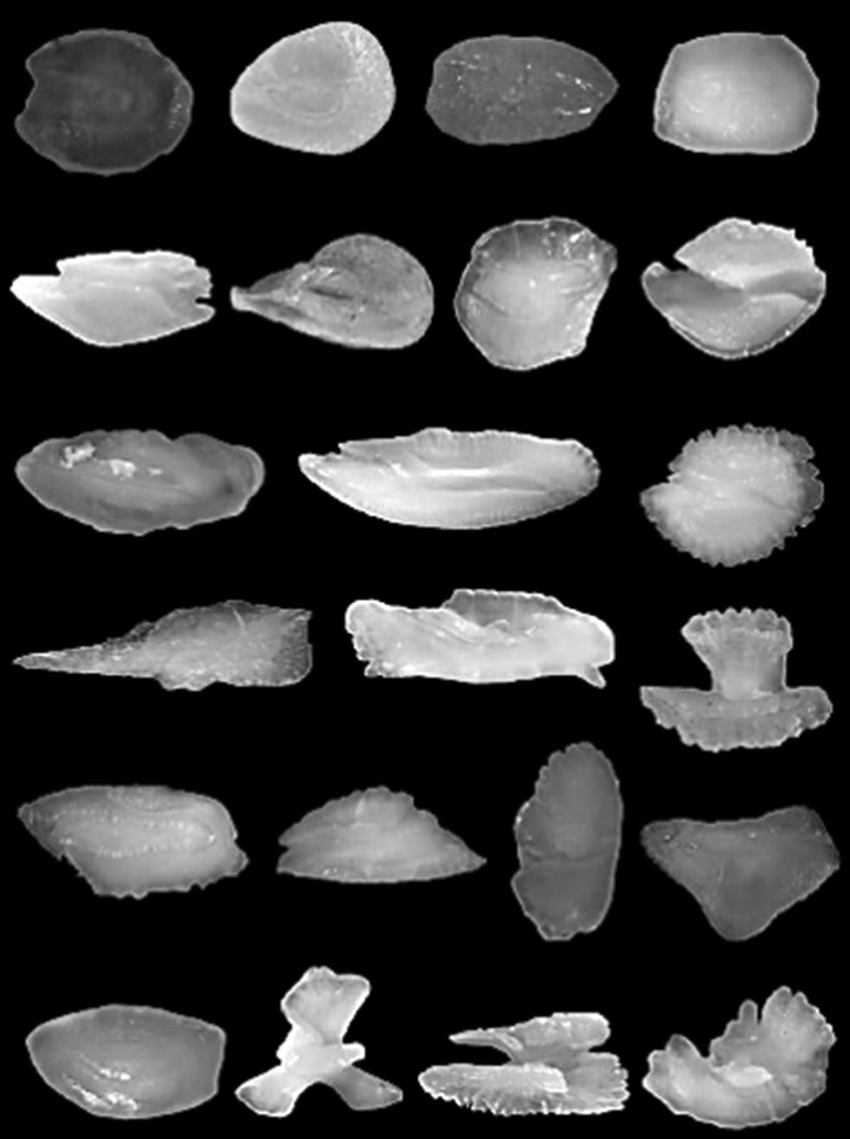 科學月刊: 沉積物中的時空膠囊─魚類耳石