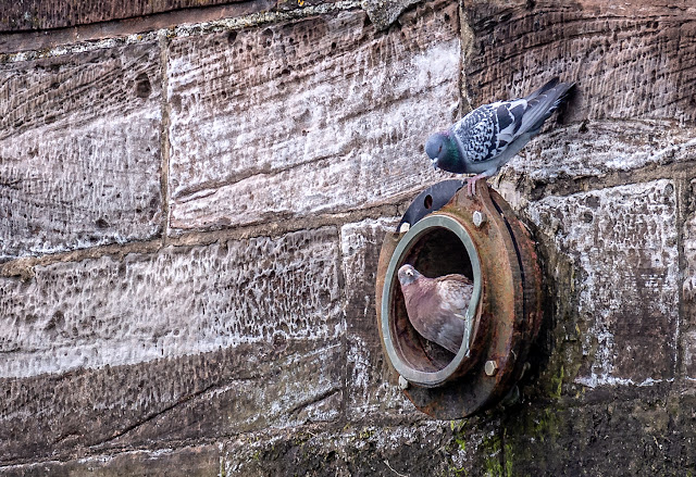Photo of Mr Pigeon perching on the top of the drainage hole after being evicted by his mate
