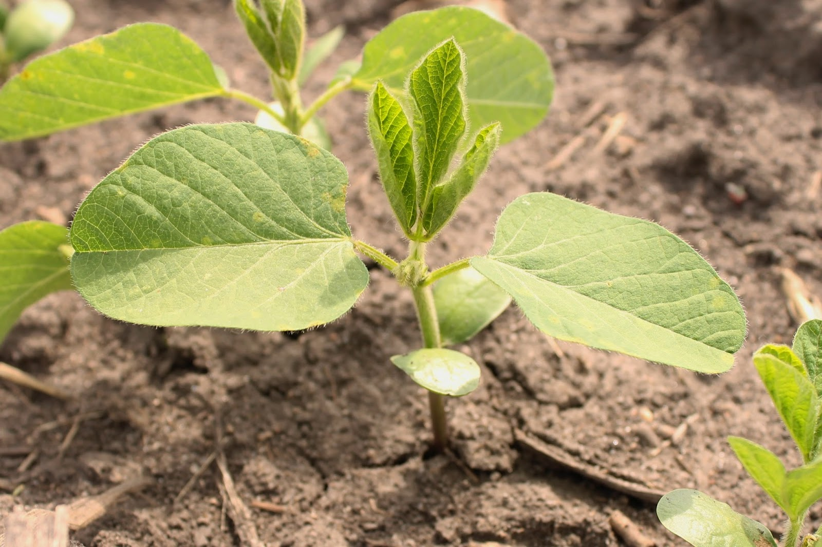 Farm Friday Update - Soybeans Early-June