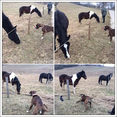 Boxer Amy bei den Pferden