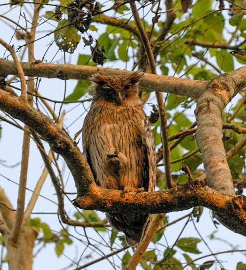 Indian birds - Image of Tawny fish owl - Ketupa flavipes