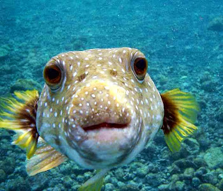 Binatang Berbahaya, Puffer Fish