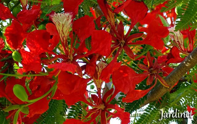 Árvore atrativa para beija-flores - Flamboyant