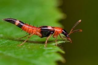 Melindungi budidaya bawang merah dari serangan hama dengan musuh alami