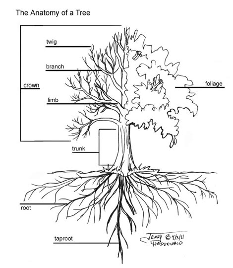 Oak Tree Diagram