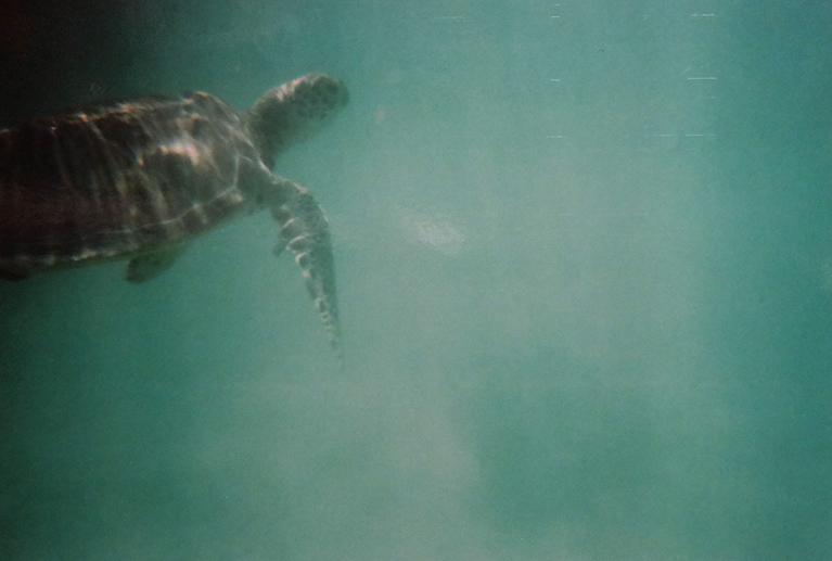 Schnorcheln mit Schildkröten in Lateinamerika