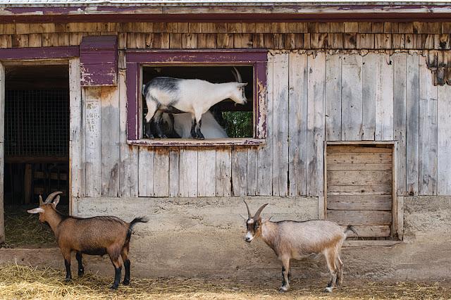 Chèvres à l'extérieur de la ménagerie