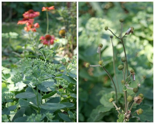 verblühte Herbstanemone und Sedum Mitte August