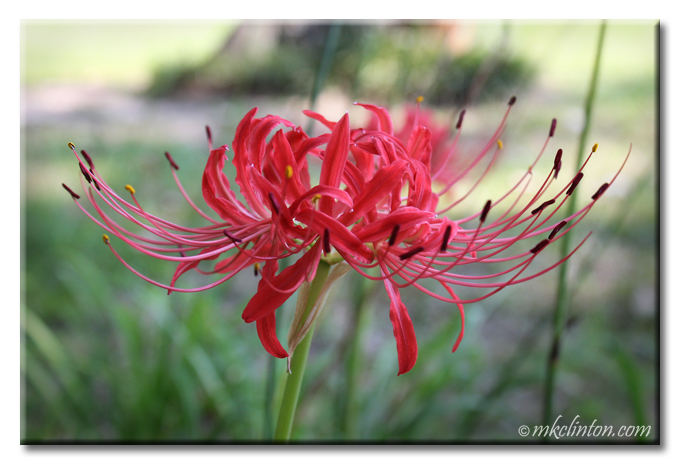 Close-up of red spider lily