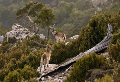 ibex, cabra montés, capra hispánica