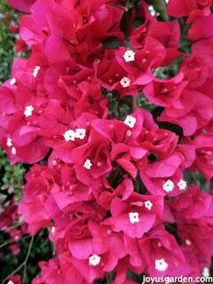 Bougainvillea: Você conhece essa flor? Ela pode curar várias doenças