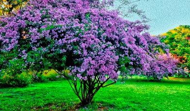 Gambar Bunga Kertas Bouganville