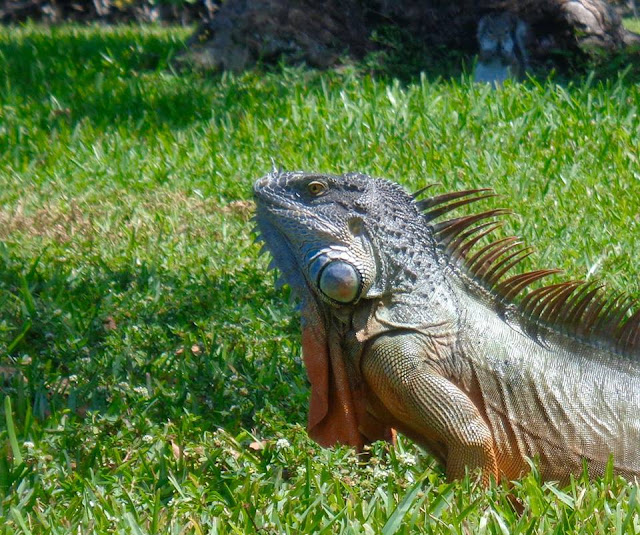 Iguana and squirrel at C.B. Smith Park in Pembroke Pines