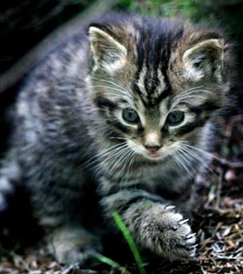 Scottish wildcat could be extinct 'within two years'