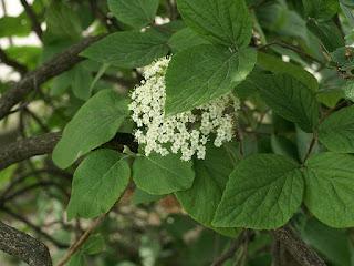 Viorne Bitchiu - Viburnum bitchiuense