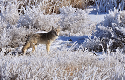 Coyote+Large+USFWS+Mountain-Prairie.jpg (1600×1023)