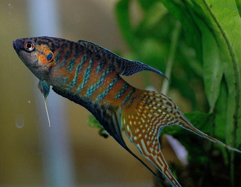 jual ikan paradise