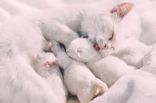 Kenapa Induk Kucing Makan Anaknya Sendiri