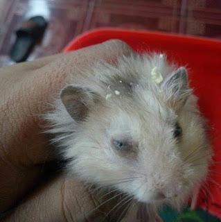 Ciri Ciri Hamster Sakit Beserta Penyebab dan Solusinya