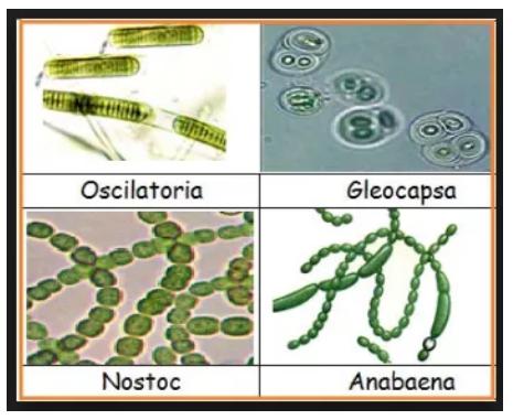 contoh Cyanobacteria atau ganggang hijau -biru