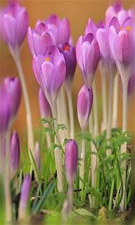 Flores lilas o púrpura fondos wallpaper para teléfono móvil resolución 480x800
