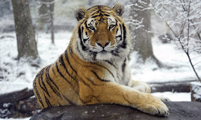 Environment For Our Future Where Do Tigers Live