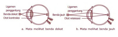 Bentuk lensa mata saat melihat benda dekat dan jauh