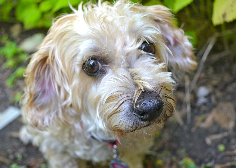Ruby, the rescued Yorkie-poo celebrates Adopt-a-Senior-Dog Month