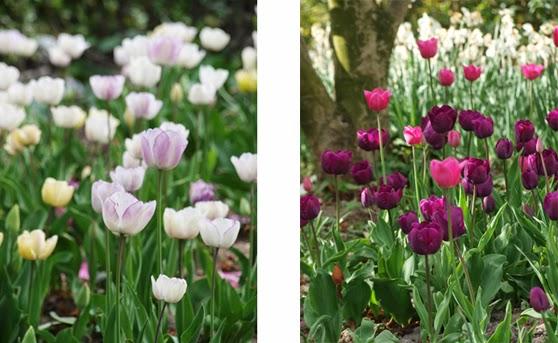 Tulipaner i lyse og mørke farver i Paris, Jardin du Palais Royal
