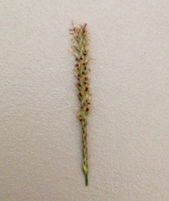 Figure 16. A single spike taken from Bermuda grass with side with spikelets arranged in two rows (own photo)