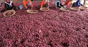 Cara cerdas berinvestasi dengan budidaya bawang merah