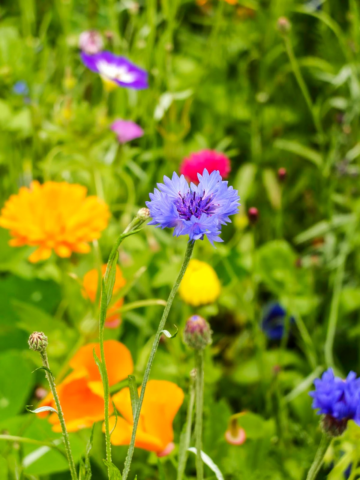 A close up of some wildflowers in a colourful garden.