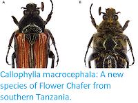https://sciencythoughts.blogspot.com/2019/02/callophylla-macrocephala-new-species-of.html