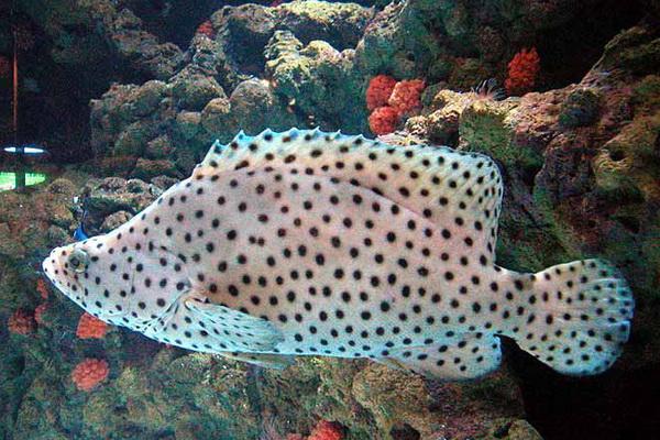 Gambar Ikan Bebek