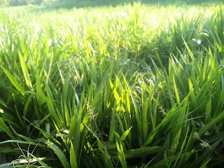 rumput odot siap panen