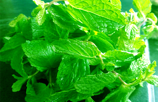 Mint leaves benefits.mint plant.