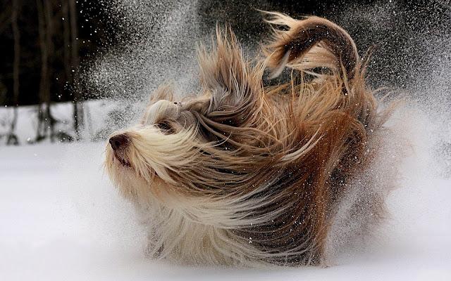 Spelende hond in de sneeuw