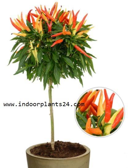 Capsicum Annuum Solanaceae Ornamental Pepper Plant PIC