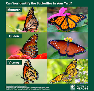 http://blog.nwf.org/2015/03/quiz-will-these-monarch-look-alikes-fool-you/