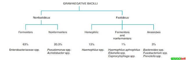 Prevalence of gram-negative bacilli isolated from cultures in a large tertiary hospital. Data on Pasteurella, Brucella, Legionella, and Bordetella are not included.
