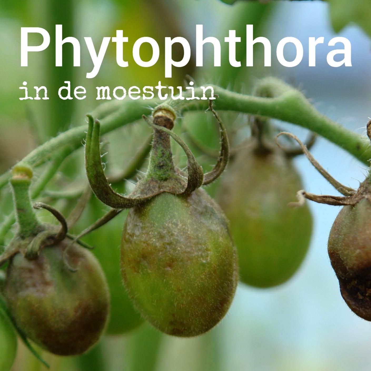 phytophthora infestans moestuin volkstuin aardappels tomaten blight
