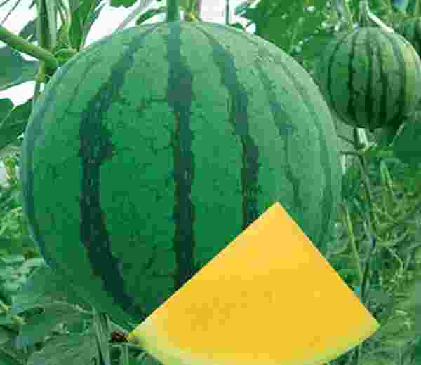semangka tanpa biji dihasilkan dari jenis bioteknologi