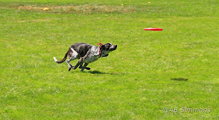 How to throw a Frisbee disc for your disc dog