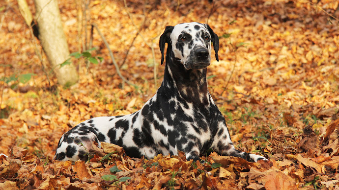 Wallpaper: Lovely Dalmatian